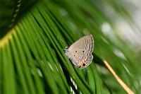 クロマダラソテツシジミ大発生・・・2019年 - 蝶と自然の物語