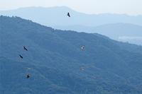 ハチクマの渡り - ゆるゆる野鳥観察日記