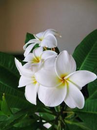 プルメリアDiary♥ - Aloha Kayo-s Style
