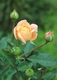 こぼれ種のエキナセアが一番強い! - ペコリの庭 *