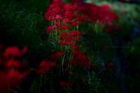 中野市谷厳寺の彼岸花 - 野沢温泉とその周辺いろいろ2