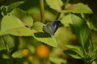 ヤクシマルリシジミ10月5日 - 超蝶