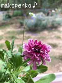 お庭の花々と近くのアルプガーデン♪ - まこぺんこ's  WORLD      のんびり安曇野ぐらし♪