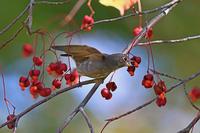 秋のヒタキ3@北海道。 - 季節の野鳥~Wildbirds archives