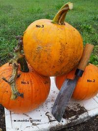 ハロかぼ計画 24  収穫 - 赤柴 の ほとり