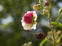 秋の花 - エンジェルの画日記・音楽の散歩道