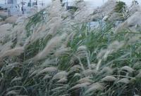 ススキの季節 - 優しい風のなかで