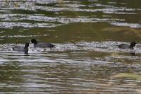 ウトナイ湖 - 今日の鳥さんⅡ