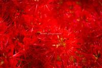 赤い花。 - Yuruyuru Photograph