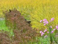 安威川の田んぼノビタキその2 - 不定期更新 彩都付近の自然観察日記