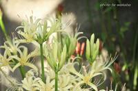 庭の彼岸花が終わりになりました(-_-) - 自然のキャンバス