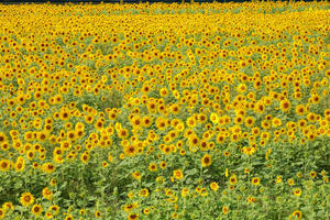 野秋の向日葵畑 ① - やきつべふぉと
