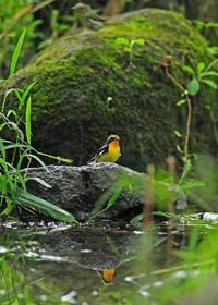 里山のキビタキを独りで - 野鳥との出会い