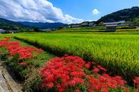 橘寺周辺の彼岸花光景 - 花景色-K.W.C. PhotoBlog