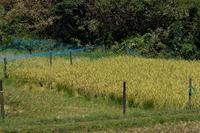 ■稲刈り19.10.6 - 舞岡公園の自然2