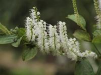 『霜柱(シモバシラ)や黄花秋桐(キバナアキギリ)等の花達』 - 自然風の自然風だより