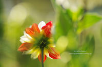 Red Temptation -dahlia- - It's only photo 2