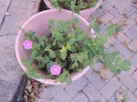 我が家の紫蘇のプランターの中で見つけた野生の朝顔の花 - じゃポルスカ楽描帳