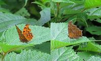 キタテハの不思議な周年経過 - 秩父の蝶