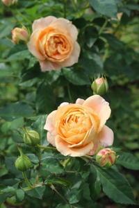 パーゴラに挿し木バラを地植え♪ - ペコリの庭 *