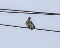 ツツドリさんの若鳥。 - さいたまの野鳥