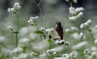 MFのそば畑にノビタキが姿を見せたその2 - 私の鳥撮り散歩