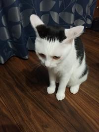 イカ耳前髪ぱっつんザンギリ猫 - 素人木工雑貨と犬猫日記