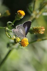 センダングサに吸蜜するヤクルリ - 蝶超天国
