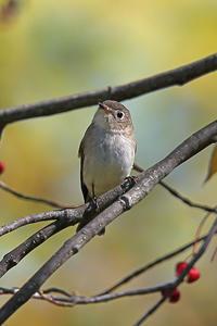 秋のヒタキ4@北海道。 - 季節の野鳥~Wildbirds archives