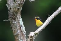 キビタキ - 野鳥公園