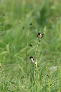 ノビタキ - 野鳥公園