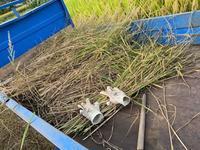 稲刈り前のヒエ刈り - 好きが・いっぱい貼り絵「ペーパーコラージュ作家」*浮嵯「うさ」のブログ