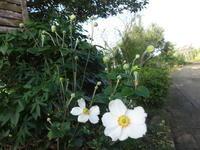 秋明菊 - だんご虫の花