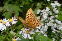 クモガタヒョウモン(雲形豹紋蝶) - 世話要らずの庭