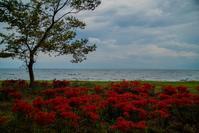 源氏浜と桂浜園地の彼岸花 - 鏡花水月