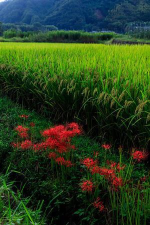 加茂の彼岸花(木津川市) - 花景色-K.W.C. PhotoBlog