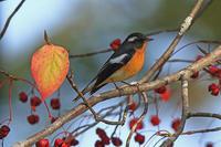秋のムギマキ@北海道。 - 季節の野鳥~Wildbirds archives