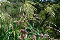 ■光る草19.10.8(ススキ、チカラシバ、セイタカアワダチソウ) - 舞岡公園の自然2
