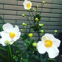 秋の花秋明菊の咲く頃に。 - 【ワタシ流 暮らし方 】アトリエきらら一級建築士事務所
