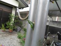 クロアゲハの蛹 - 秩父の蝶