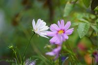 昼休みの公園の花たち - 柳に雪折れなし!Ⅱ
