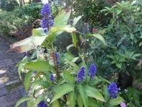 青いジンジャー - だんご虫の花