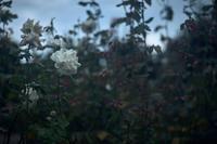 バラ - IN MY LIFE Photograph