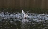 MFの沼でユリカモメ&アジサシに逢えた - 私の鳥撮り散歩