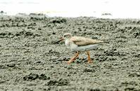 ソリハシシギ - barbersanの野鳥観察