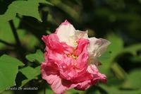 酔芙蓉の花が酔っているかのように満開でした(^^♪ - 自然のキャンバス