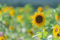 夏に疲れた向日葵。。。 - 気ままにお散歩