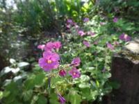 花片喰 - だんご虫の花