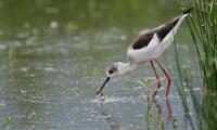 セイタカシギアカエリヒレアシシギ - 新 鳥さんと遊ぼう