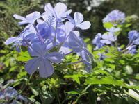空色の「ルリマツリ」 - あるまじろの庭